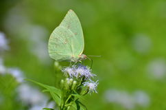 Lime colored butterfly Royalty Free Stock Photography