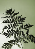 Lime fern. Florist fern in lime Royalty Free Stock Images