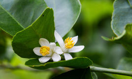 Lime flower blooming on Lime tree. Lime flower blooming on Lime tree in the garden Royalty Free Stock Photography