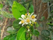 Lime flower in the garden. Close up picture of Lime flower in the garden stock photo