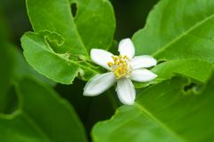 Lime flower on lime tree in an organic garden. Lime flower on lime tree in an organic garden royalty free stock photography