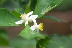 Lime flower on lime tree in an organic garden. Lime flower on lime tree in an organic garden royalty free stock image