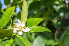 Lime flowers, lemon blossom on tree. Beautiful lime flowers, lemon blossom on tree, with water droplets, on green leaves blurred background royalty free stock photos