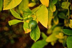 Lime fresh. Fresh unpicked green lime growing on a green leaf lime tree royalty free stock photos