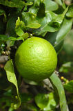 Lime fruit. A green fresh lime fruit hanging on a lime tree in sunshine outdoors in the garden Stock Image