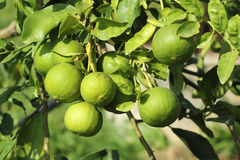 Lime fruit. The green Lime fruit on a tree Stock Photo