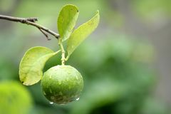 The lime fruit. Grown on the tree for cooking royalty free stock images