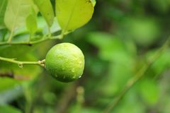 The lime fruit. Grown on the tree for cooking stock photo