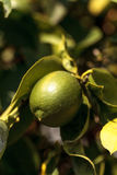 Lime fruit grows on the branch a lime tree Stock Photo
