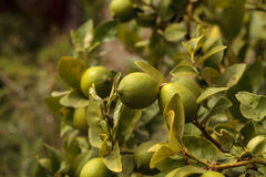 Lime fruit grows on the branch a lime tree. In an orchard in summer Stock Image