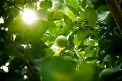 Lime fruit, Lime green tree with light. Lime fruit, Lime green tree stock photos