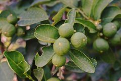 Lime fruit;lime tree Royalty Free Stock Photo