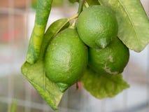 Lime fruit. Ripe Lime hanging on a lemon tree. Growing Lime stock photo