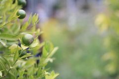 Lime fruit. A small green fresh lime fruit hanging on a lime tree Royalty Free Stock Photos
