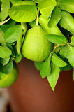 Lime fruit Royalty Free Stock Images