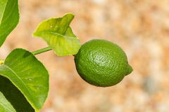 Lime fruit on a tree in the sunshine Royalty Free Stock Photo