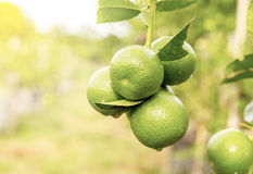 Lime fruits closeup Royalty Free Stock Image