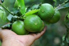 Lime fruits on tree,tree,hand holding. Royalty Free Stock Photography