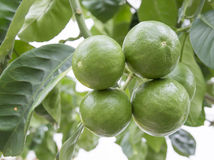 Lime fruits on a tree. Lime fruits ripening on a tree royalty free stock photo