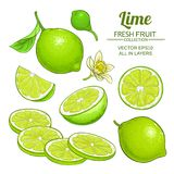 Lime fruits vector set. On white background Stock Image