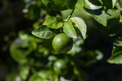 Lime gardening Lime fruits or lemon fruits on tree. Lime gardening Lime fruits or lemon fruits on tree stock image