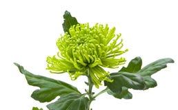 Lime green chrysanthemum Royalty Free Stock Images