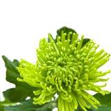 Lime green chrysanthemum Royalty Free Stock Photo