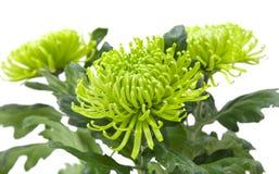 Lime green chrysanthemums Royalty Free Stock Image