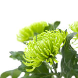Lime green chrysanthemums Stock Photos