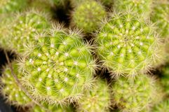 Lime green color of Echinopsis favorite kind of cactus. Beautiful color and light. this place is in East of Thailand stock photography