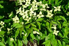 Lime green Dogwood flower blooms. Nestled in leaves royalty free stock image