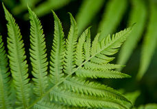 Lime Green Fern Fronds. A fresh late springtime lime green fern frond has steadily grown to begin its summer long journey of growth showing us mother natures royalty free stock photos