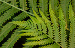 Lime Green Fern Fronds. A fresh late springtime lime green fern frond has steadily grown to begin its summer long journey of growth showing us mother natures royalty free stock image