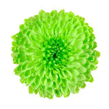 Lime Green Pom Pom Flower Isolated on White royalty free stock image