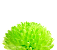 Lime Green Pom Pom Flower Isolated on White Stock Images