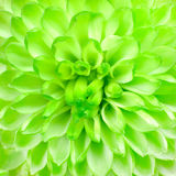 Lime Green Pom Pom Flower Square Background Royalty Free Stock Images