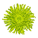 Lime Green Spiky Dahlia Flower Isolated royalty free stock image