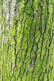 Lime green tree bark close up. A close up of lime green tree bark found in my local forest in Marbella, Spain royalty free stock photos