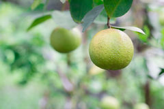 Lime green on tree branch in garden Stock Image