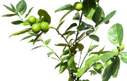 Lime green tree on the branch Stock Image