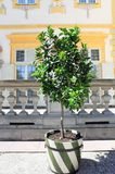 Lime tree with fruits grows in tub stock photography