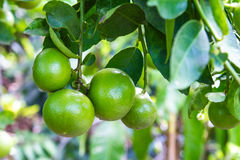 Lime green Royalty Free Stock Photo