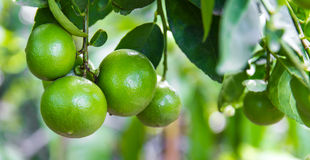 Lime green Royalty Free Stock Image
