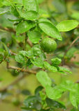 Lime green tree hanging from the branches. Lime hanging from the branches royalty free stock photo