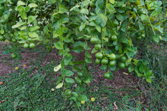 Lime green tree hanging from the branches of it.  royalty free stock photo