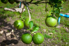 Lime green tree hanging. From the branches stock photo