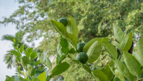 Lime green tree. Hanging from the branches of it royalty free stock photos