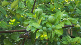 Lime green tree. Hanging from the branches of it royalty free stock image