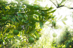 Lime green tree hanging from the branches. In sun rays royalty free stock photography