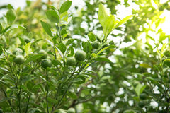 Lime hanging on tree Stock Photo